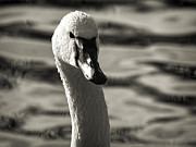 Green Bay Prints - Tundra Swan Print by Thomas Young