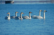 Avian Prints - Tundra Swans Print by Paul OToole