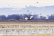 Newell Framed Prints - Tundra Swans Framed Print by Priya Ghose