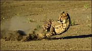 LeeAnn McLaneGoetz McLaneGoetzStudioLLCcom - Turbo Cheetah