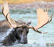 Bull Moose Posters - Turbulent Waters Poster by Adam Jewell
