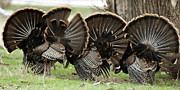 Turkey Metal Prints - Turkey Butt Strut Metal Print by Gary Langley