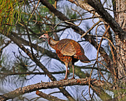 Al Wild Card Framed Prints - Turkey in a Tree Framed Print by Al Powell Photography USA