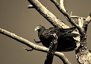 Amy Maloney - Turkey Vulture