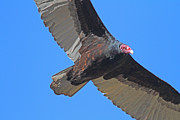 Vulture Photos - Turkey Vulture in Flight - 7D21180 by Wingsdomain Art and Photography