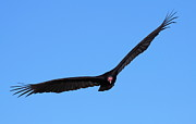 Flying Turkey Prints - Turkey Vulture In Flight Print by Bruce J Robinson