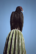 Larry Minden - Turkey Vulture On Cardon...