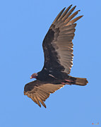 Birds - Turkey Vulture Soaring Overhead DRB153 by Gerry Gantt