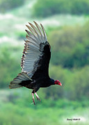 D700 Metal Prints - Turkey Vulture Metal Print by Stephen  Johnson
