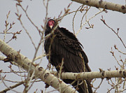 Margaret  Slaugh - Turkey Vultures
