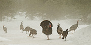 Hen Turkeys Posters - Turkeys in Misty Fog Poster by Ed Hoppe