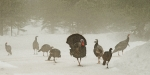 Hen Turkeys Posters - Turkeys in the fog Poster by Ed Hoppe