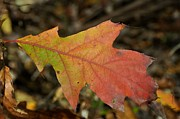 Red Fallen Leave Prints - Turn A Leaf Print by JAMART Photography