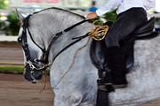 Paso Fino Horse Photos - Turning by Francine Hall