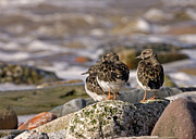Arenaria Interpres Posters - Turnstone Poster by Paul Scoullar