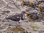 Arenaria Interpres Posters - Turnstone Poster by Peter Chapman