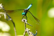Lorri Crossno Metal Prints - Turquoise Dragonfly Metal Print by Lorri Crossno