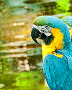 Rendered Prints - Turquoise Gold Macaw  Print by John Kain