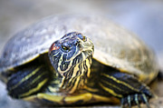 Striped Metal Prints - Turtle Metal Print by Elena Elisseeva
