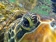 Hawksbill Turtle Posters - Turtle Eye Poster by Carey Chen