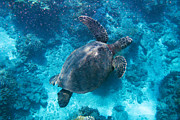 Green Sea Turtle Photos - Turtle in Blue by Kris Scanlon