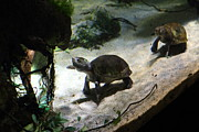 Turtle - National Aquarium In Baltimore Md - 121218 Print by DC Photographer