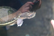 Turtle - National Aquarium In Baltimore Md - 121223 Print by DC Photographer