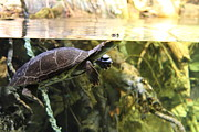 Baltimore Art - Turtle - National Aquarium in Baltimore MD - 12123 by DC Photographer