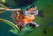 Hawksbill Turtle Posters - Turtle reflection Poster by Carey Chen
