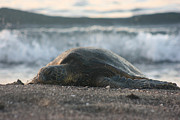 Green Sea Turtle Photos - Turtle Wave by Darci T