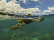 Hawaiian Green Sea Turtle Photos - Turtles need air too by Brad Scott