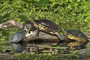 Weed Metal Prints - Turtles Sunning Metal Print by Deborah Benoit