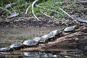 Turtles Print by Terrance Byrd