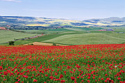 Daniel Sands - Tuscan Poppy Field