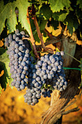 Purple Grapes Prints - Tuscan Vineyard Print by Brian Jannsen