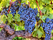 Sangiovese Prints - Tuscany Wine Grapes Print by Dominic Piperata