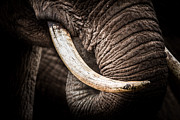 Ark Prints - Tusks And Trunk Print by Mike Gaudaur