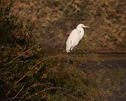 Ruth Jolly - Twilight Egret