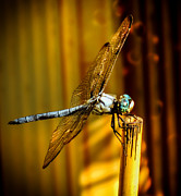 Dragonflies Metal Prints - Twilight Metal Print by Karen Wiles