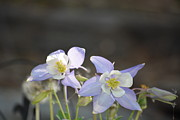 Bradley Poage - Twin Blue Columbines