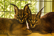 Twin Caracals Print by Kelly Smith