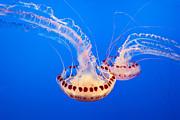 Twin Dancers - Large Colorful Jellyfish Atlantic Sea Nettle Chrysaora Quinquecirrha  Print by Jamie Pham