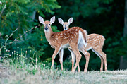 Christopher L Nelson - Twin Fawns 2