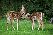 Two Deer Framed Prints - Twin Fawns Framed Print by Christina Rollo