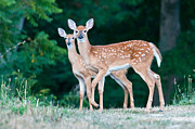 Christopher L Nelson - Twin Fawns