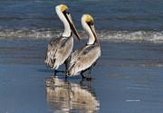 Twin Pelicans Print by Deborah Benoit