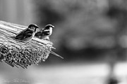 Sparrows Photos - Twin Sparrows  by Hastings Franks