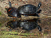 Christopher  Mercer - Twin Sunning Turtles