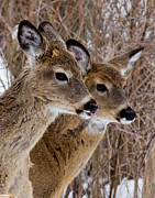 Whitetail Deer Originals - Twins by Michel Soucy