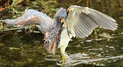 Tri Colored Heron Photos - Twist And Fish by Adam Jewell